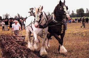 Ploughing with Suffolk Punch Horses