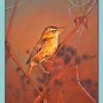 Sedge Warbler by Frances Dewis